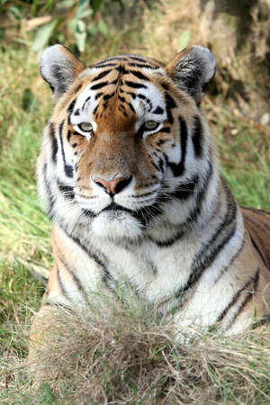 tiger head: Handsome tiger with beautiful striped fur lying on grass