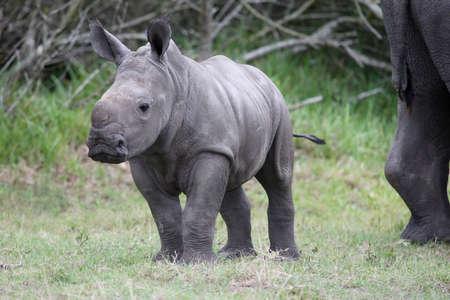 nashorn: Cute Baby white Rhino mit gro�en F��en