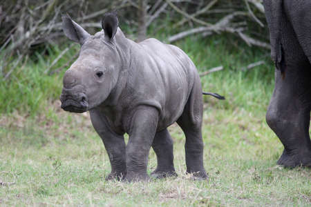Cute baby white rhino with large feet