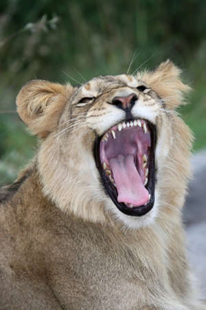panthera leo: Young lion in the wild with mouth wide open showing sharp teeth and pink tongue Stock Photo
