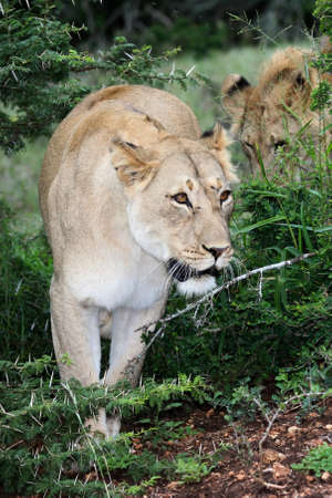 Beautiful female wild lion walking between thorn bushes photo