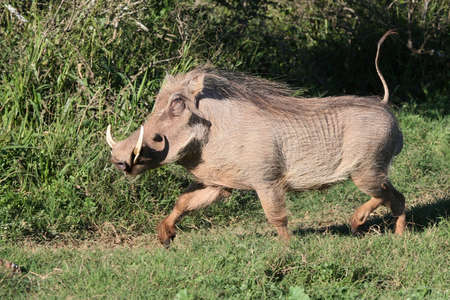 Male warthog running with its tail held erect photo