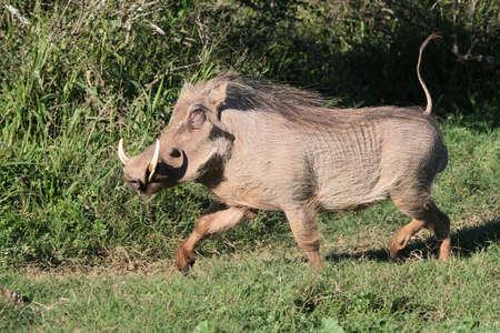 sanglier: Warthog masculine ex�cutant avec sa queue tenue dress�es Banque d'images