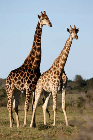 Breeding pair of giraffes standing in the African bush photo