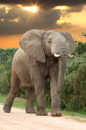 Big angry male African Elephant with head raised at sunset