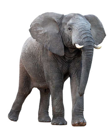 African elephant with ears spread and standing tall - isolated on white