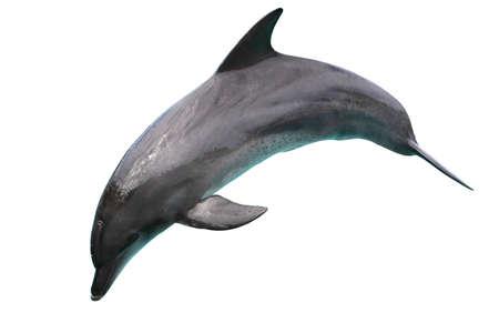 delfin: Skoki Tursiops samodzielnie na biaÅ'ym tle Zdjęcie Seryjne