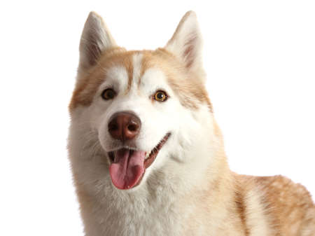 Portrait of a beautiful brown and white Husky dog