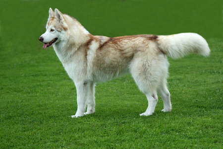 furry tail: Lovely brown and white Husky dog standing on green lawn