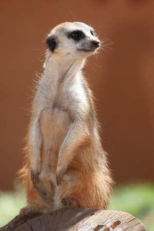 erdmaennchen: Meerkat or Suricate standing guard on a tree stump