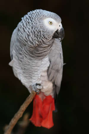 birds eye view: An African Grey parrot with a red tale and perched on a branch