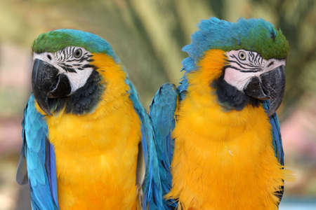 two parrots: Two beautiful maccaw parrots with green yellow and blue feathers