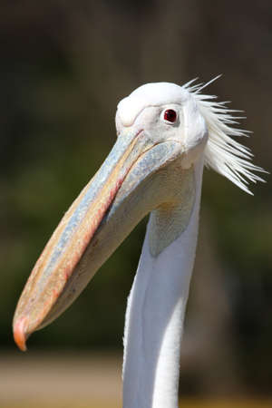 pelecanus: Portrait of a white pelican bird with a crest and funny curious expression Stock Photo