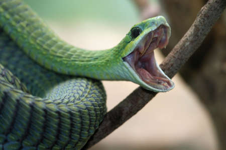 Venomous green boomslang snake with mouth open and coiled to strike Stock Photo