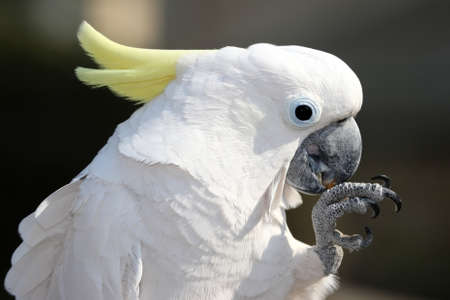 cockatoo: Sulphur Crested Cockatoo bird holding and eating a nut  Stock Photo