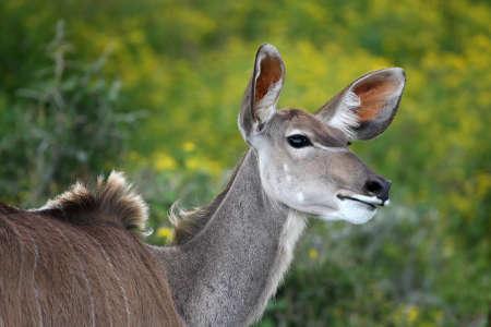 greater: Greater Kudu ewe antelope with large alert ears Stock Photo