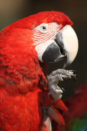 maccaw: Portrait of a Scarlet Macaw bird with bright red feathers Stock Photo