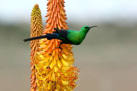 malachite: Pretty Malachite Sunbird feeding on an Aloe Flower