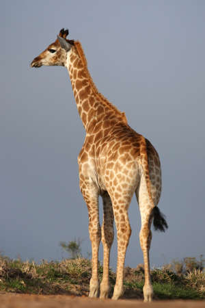 Tall giraffe standing with his back to the camera photo