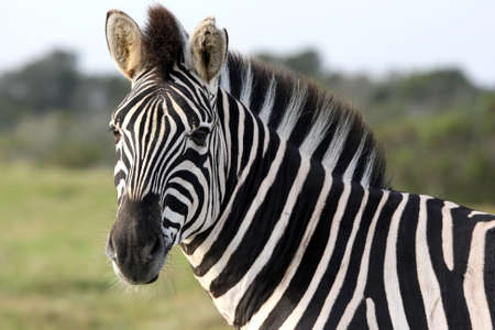 Plains zebra with vivid stripes looking at the camera photo
