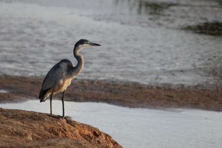 water bird: A large black headed heron standing at the edge of a pond