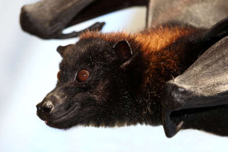pteropus: Flying Fox Fruit bat with brown fur and big round eyes