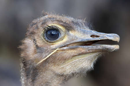 inquiring: Close up of a young ostrich with a grass stalk in it