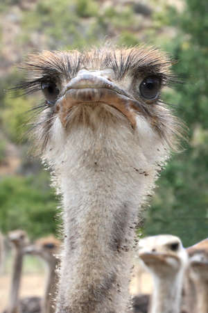 inquiring: Portrait of a young ostrich with funny look on it