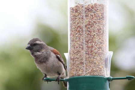 wild canary: House sparrow bird on a bird feeder full of dried seeds