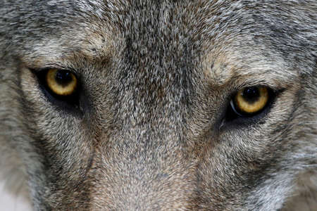 canis: Close up of the yellow eyes of a Timber Wolf Stock Photo