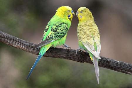 Pair of pretty budgerigar birds preparing to mate 스톡 콘텐츠