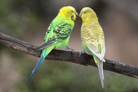 Pair of pretty budgerigar birds preparing to mate Reklamní fotografie - 11423892