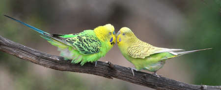 budgie: Pair of pretty budgerigar birds preparing to mate Stock Photo