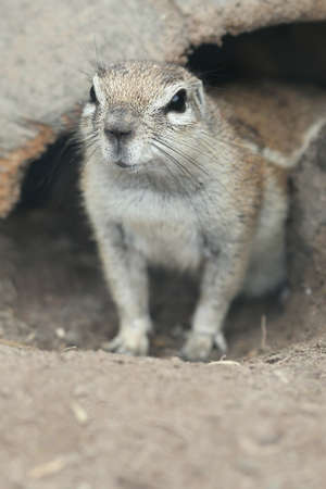 burrow: Ground squirrel looking out of its burrow