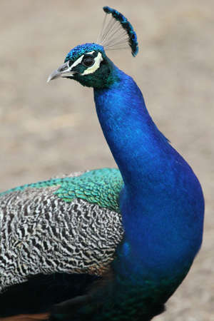 Magnificent Indian peacock bird with bright blue plumage photo