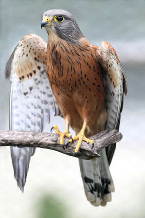 falco: Rock kestrel bird of prey resting on a branch with wings open Stock Photo