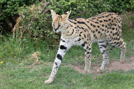 spotted fur: Serval wild cat with beautiful spotted fur and long legs