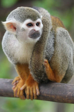 Squirrel Monkey with it photo