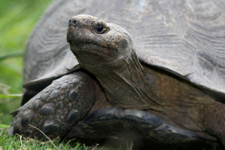 large turtle: A large tortoise with it