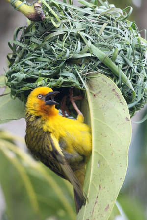 Cape weaver bird male calling at the entrance to it photo