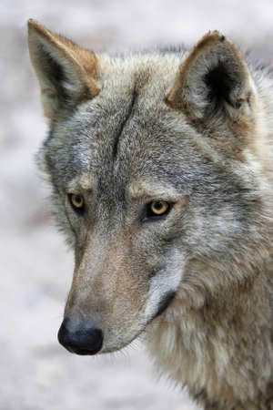timber wolf: Portrait of a handsome Timber Wolf with alert look