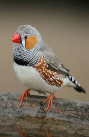 Zebra Finch bird male standing on the edge of a bird bath