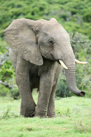 Large African elephant scenting the air with its extended trunk
