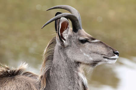 greater: Young male kudu antelope with small horns Stock Photo