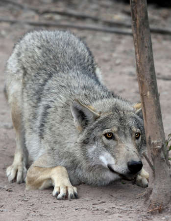 timber wolf: Timber or grey wolf crouched and about to pounce Stock Photo
