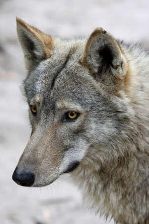 observant: Portrait of a handsome Timber Wolf with alert look
