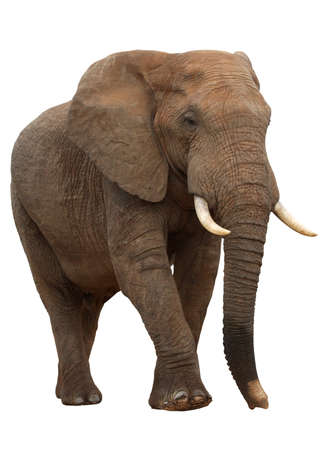 Large male African elephant isolated on white Stock Photo