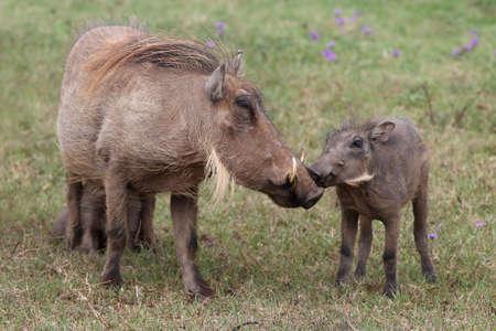 bush hog: Warthog madre y su interacci�n hijos peque�os