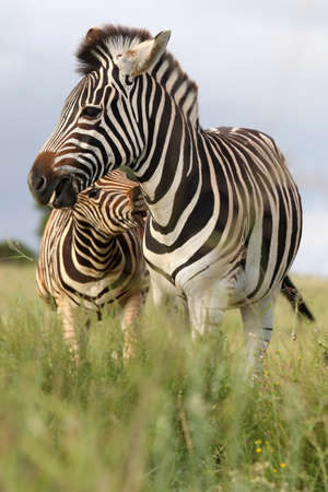 burchell: Burchells or plains zebras with one biting the other