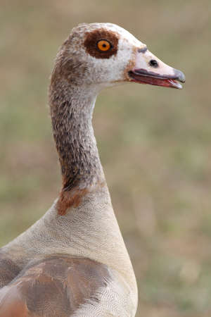 water fowl: Egyptian goose water fowl bird with beautiful brown feathers Stock Photo